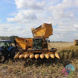 Збираємо гібридну кукурудзу